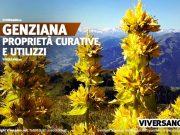 Pianta di genziana maggiore con fiori gialli