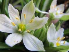 Star Of Bethlehem: il fiore di Bach per superare lo Shock di una cattiva notizia