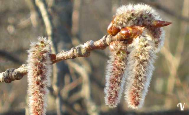fiore di bach aspen