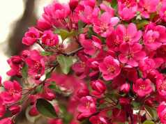 fiore di bach crab apple