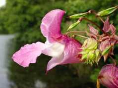 fiore di bach impatiens