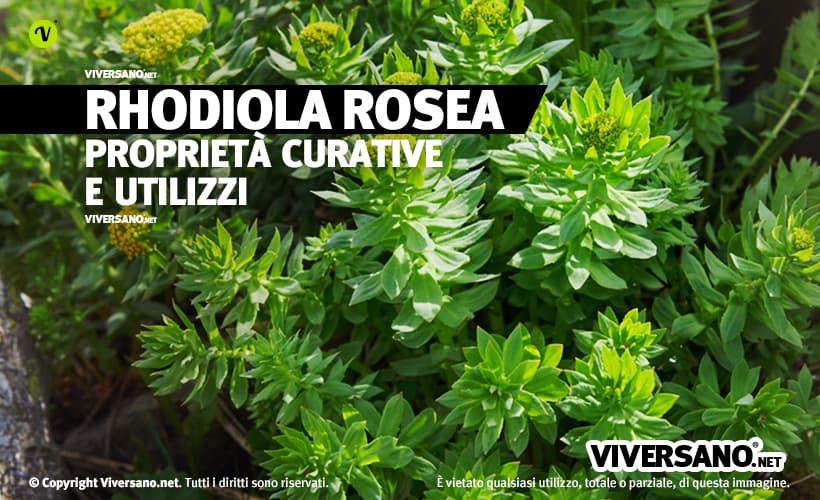 Pianta di rhodiola rosea con fiori gialli