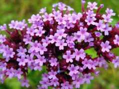 rimedio floreale vervain