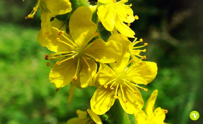 rimedio floreale agrimony