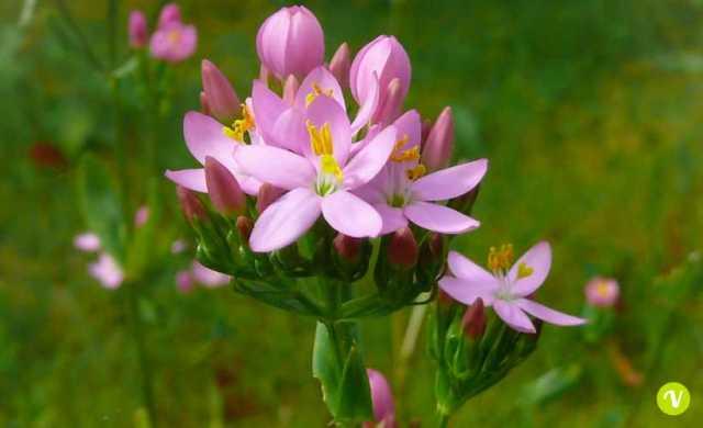 fiore di Bach centaury