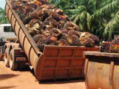 La produzione di olio di palma fa male all'ambiente?