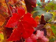 Vite rossa: proprietà, benefici e controindicazioni