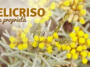 Elicriso: proprietà e benefici