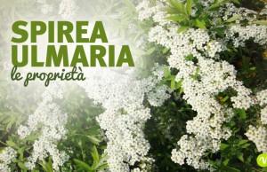 Spirea Ulmaria: proprietà e controindicazioni