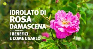 Fiore di rosa damascena