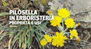 Pianta e fiori di pilosella