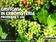 Pianta di griffonia simplicifolia